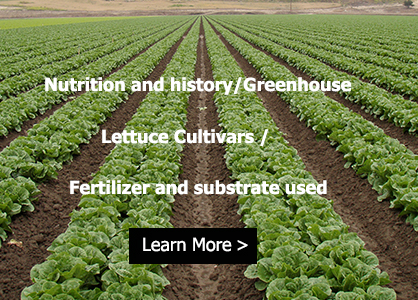 lettuce nutrient